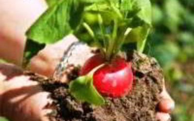 Когда можно сажать редиску весной в открытый грунт, под плёнку, в теплицу