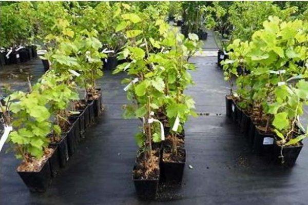 посадка винограда осенью саженцами с закрытой корневой системой видео