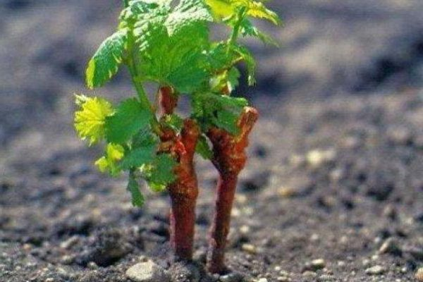 посадка винограда осенью саженцами