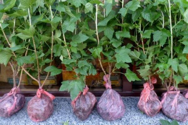 посадка черной смородины осенью саженцами