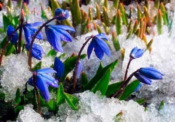 весенние луковичные цветы фото и названия садовые