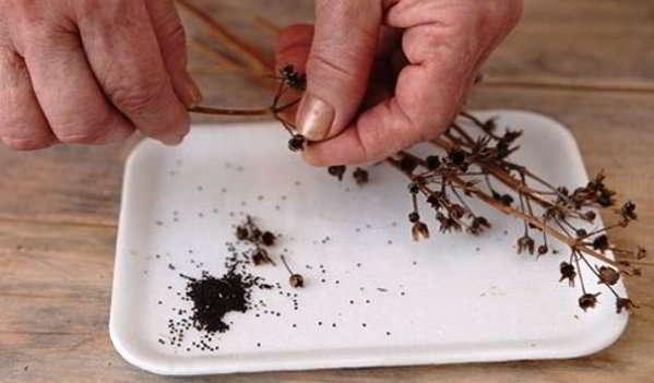 семена примулы