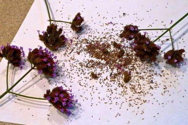 вербена семена