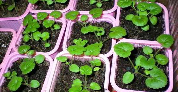 пеларгония из семян в домашних условиях форум