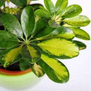 Шеффлера: как правильно поливать цветок по сезонно в домашних условиях