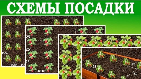 схемы посадки клубники осенью