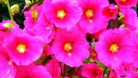 Шток-роза: выращивание из семян, когда сажать рассаду