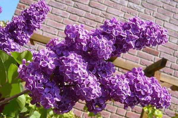 какие декоративные кустарники посадить на даче