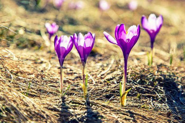 крокусы посадка и уход в открытом грунте фото почему не цветут