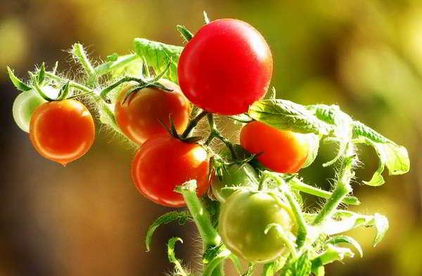 сорта помидор самые урожайные для теплиц