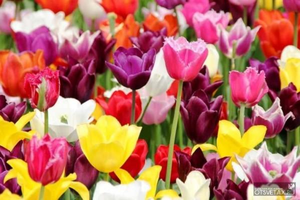 тюльпаны посадка и уход в открытом грунте в сибири видео