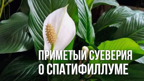 спатифиллум приметы и суеверия фото