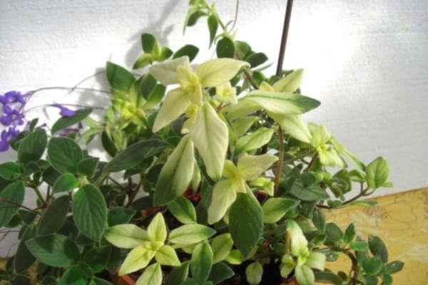 цветок стрептокарпус уход в домашних условиях