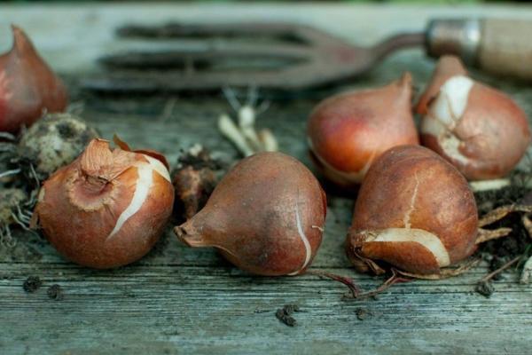 посадка тюльпанов осенью в грунт сроки