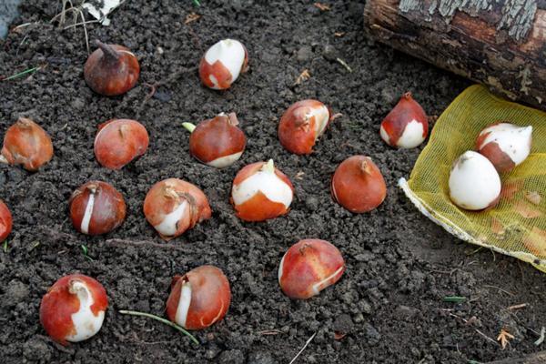 посадка тюльпанов осенью в грунт правила
