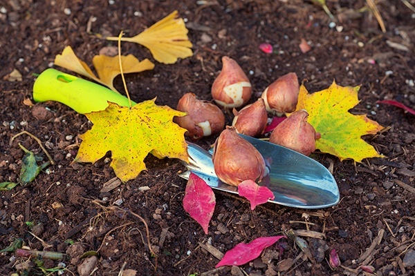 посадка тюльпанов осенью в различных регионах