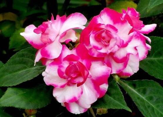 красивые цветущие комнатные растения фото и названия