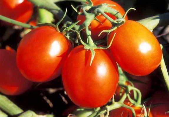 Средние и поздние сорта томатов для теплицы