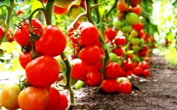 томат сибирский скороспелый характеристика