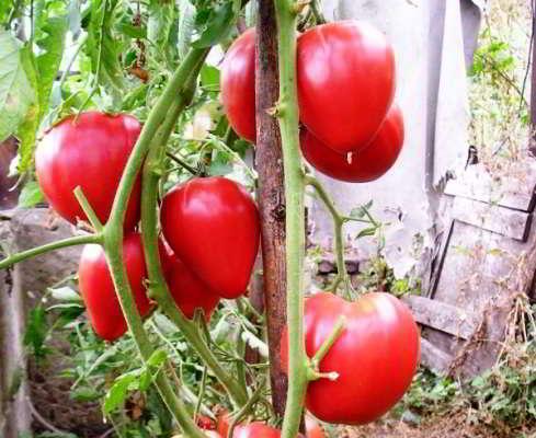 помидоры для теплицы из поликарбоната сорта лучшие форум