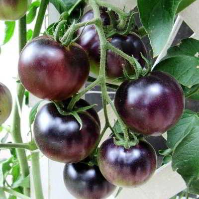 Крупноплодные урожайные сорта для теплицы
