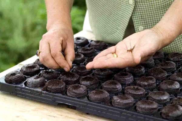 цветная капуста выращивание и уход в открытом грунте форум
