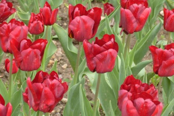 сроки посадки тюльпанов осенью на южном урале