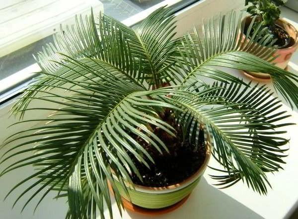 цикас пальма комнатный