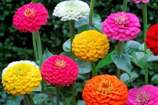 рассада цветов цинии