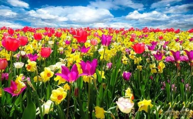 тюльпаны посадка и уход в открытом грунте на урале