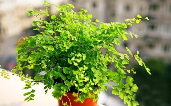 цветок адиантум уход в домашних условиях фото