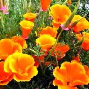 Эшшольция: посадка семян в открытый грунт и уход фото