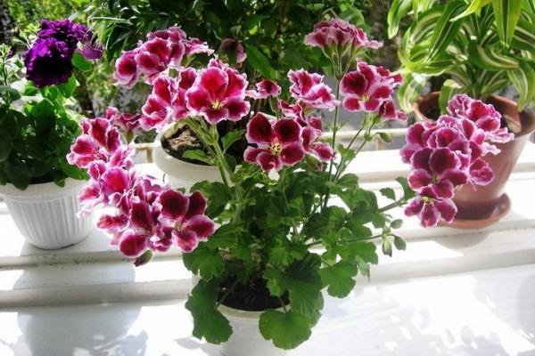 герань цветущий комнатный цветок