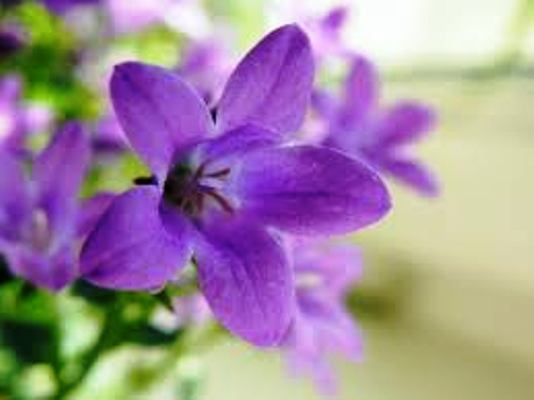 цветение кампанулы в домашних условиях