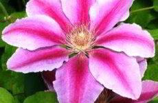 Клематисы: сорта с фото и описанием, размножение, уход