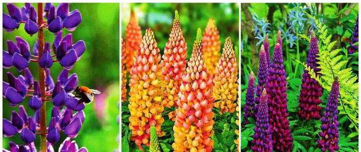 люпин выращивание из семян