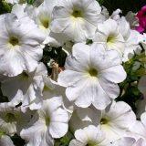 петуния фото цветов и букетов