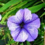 петуния фото цветов рассада когда сажать в грунт