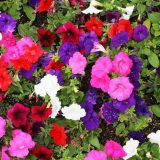 петуния фото цветов посев уход