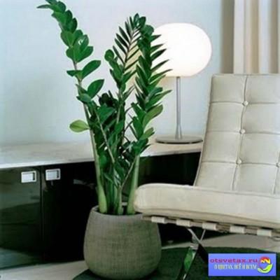 цветок замиокулькас уход в домашних условиях для начинающих