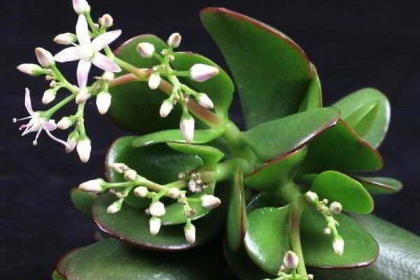 денежное дерево уход в домашних условиях цветение болезни
