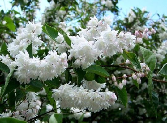 декоративный цветущий кустарник