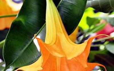 Бругмансия: посадка и уход в открытом грунте
