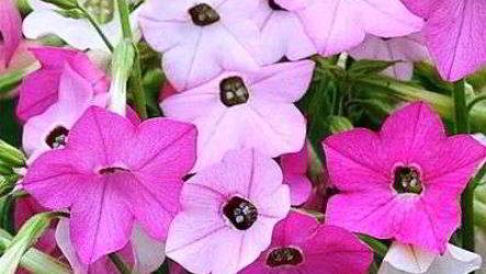 Табак душистый: выращивание из семян, когда и как сажать на рассаду