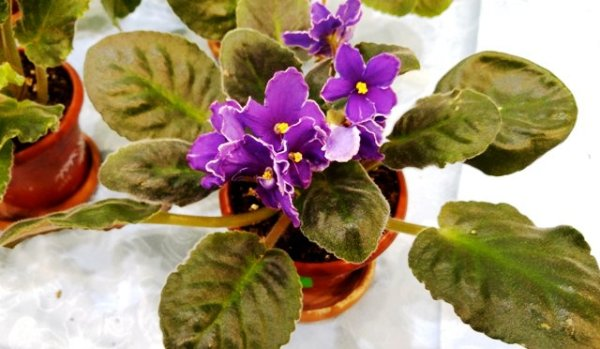 цветы фиалки уход в домашних условиях