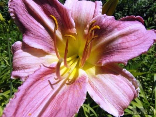 цветы лилейник саду фото
