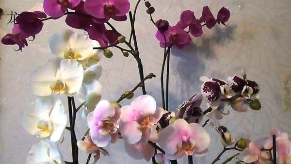 орхидея домашний цветок
