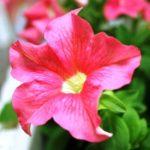 петуния фото цветов в горшках