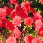 петуния фото цветов в кашпо