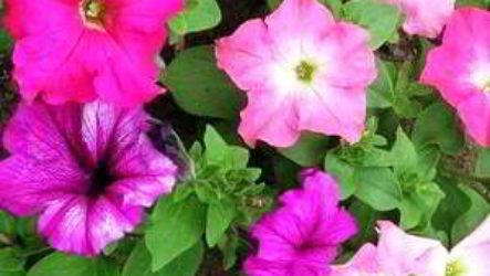 Петуния: посадка и уход фото пошагово посев семян, высадка рассады в грунт
